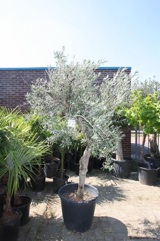 Veiling van olijfbomen, palmbomen, druiven en diverse soorten andere tropische planten & bomen te Borne