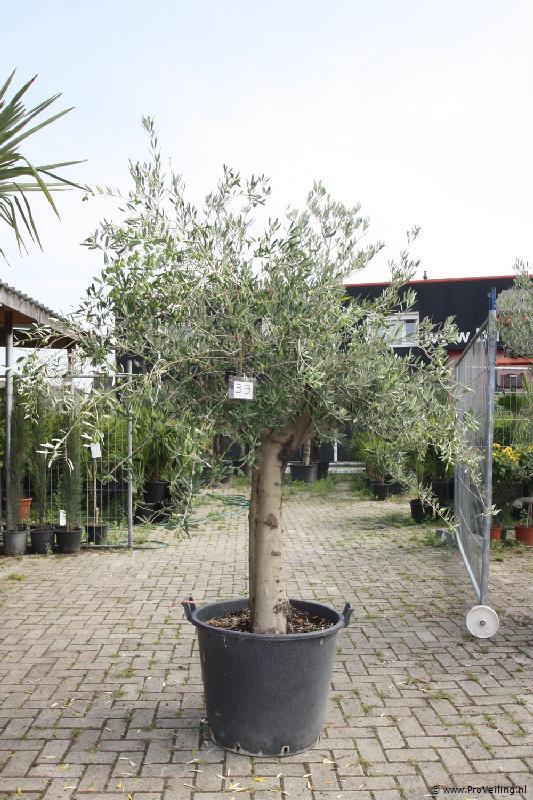 Veiling van olijfbomen, palmbomen, druiven & vijgen te Borne voor stuntprijzen