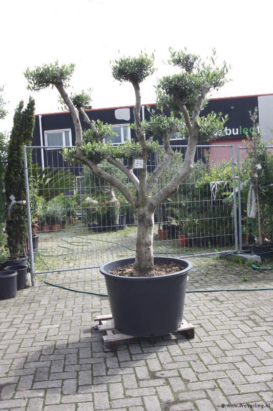 Veiling van OLIJFBOMEN, diverse PALMBOMEN, CITRUSBOMEN, VIJGEN en diverse soorten andere planten en bomen + Marmeren tegels te Borne