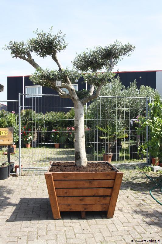 SEIZOENSUITVERKOOP van OLIJFBOMEN, diverse PALMBOMEN, CITRUSBOMEN, VIJGEN en diverse soorten andere planten en bomen