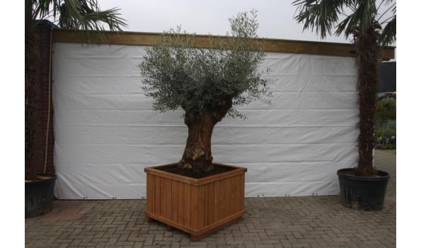 Olijfboom Bonsai in houten bak
