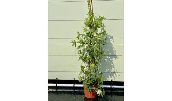 Passiflora Snowqueen Piramide Wit, Bloesem