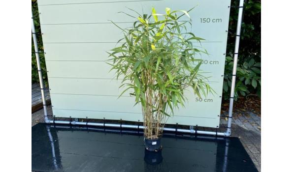 Pseudosasa Japonica - Bamboe Japonica. Hoogte 150 cm