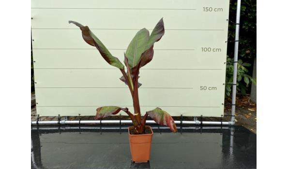 Musa Maurelli - Rode bananenplant 130 cm