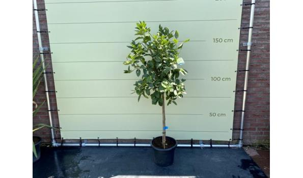 Limoenboom maatL 150 cm