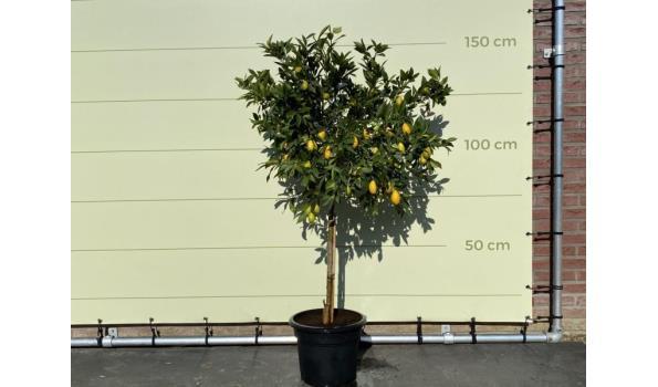Limequat maat L 160 cm