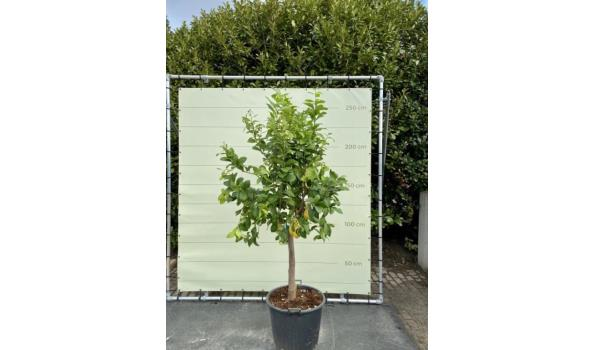 Citroenboom Maat XL 200/250 cm