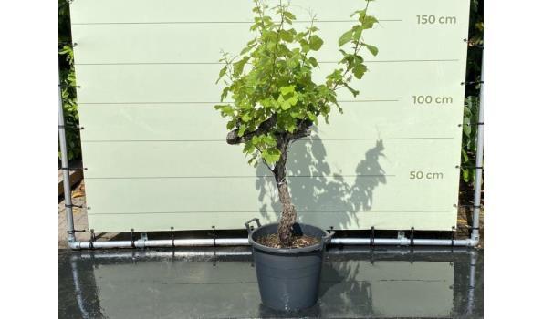 Druif op oude stam - 140 cm, Stamhoogte 60-80 cm