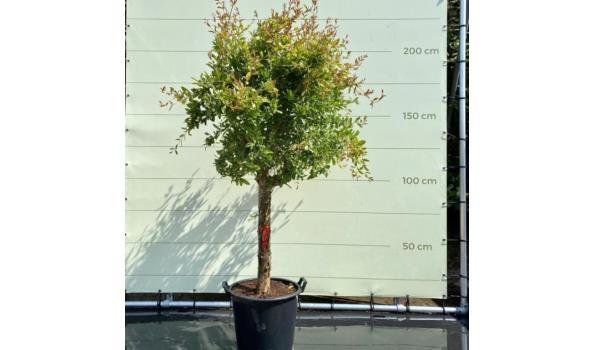 Granaatappelboom maat XL, Stamomvang 20-25 cm