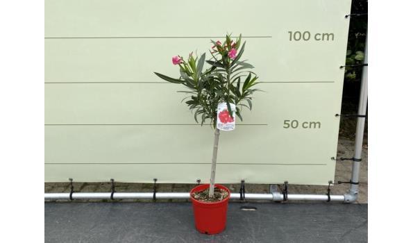 Rode Oleander op stam 80-100 cm