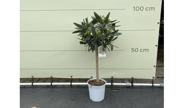 Witte Oleander op stam 80-100 cm