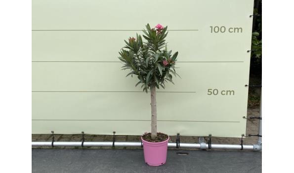Roze Oleander op stam 80-100 cm