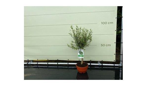 Olijf in bolvorm 100 cm