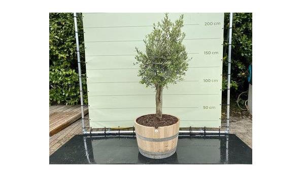 Olijfboom. Stamomvang 20 - 40 cm In wijnvat