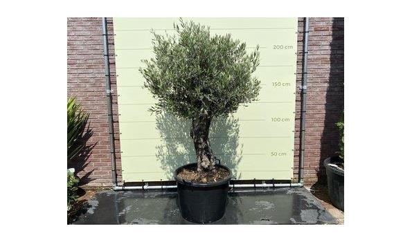 Olijfboom. Stamomvang 60 - 80 cm