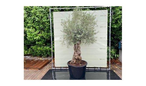Olijfboom. Stamomvang 80 - 100 cm