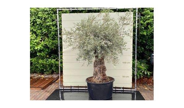 Olijfboom. Stamomvang 100 - 120  cm