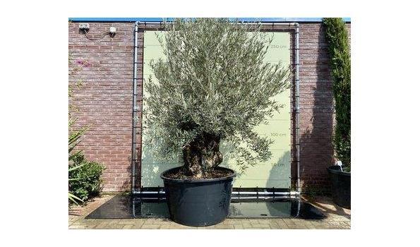 Olijfboom. Stamomvang 120 - 140  cm