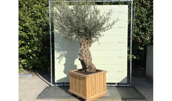 Olijfboom. Stamomvang 80 - 100 cm In hardhouten bak