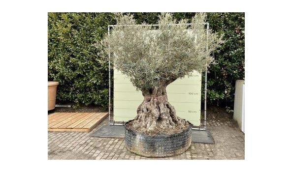 Olijfboom. Stamomvang 180 - 230 cm