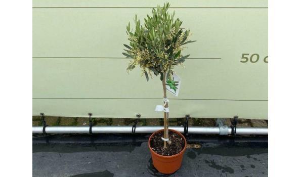 Olijfboom. Gladde Stam. Stamomvang 4 - 6 cm