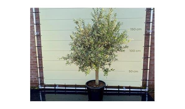 Olijfboom Gladde Stam. Stamomvang 20 - 40 cm
