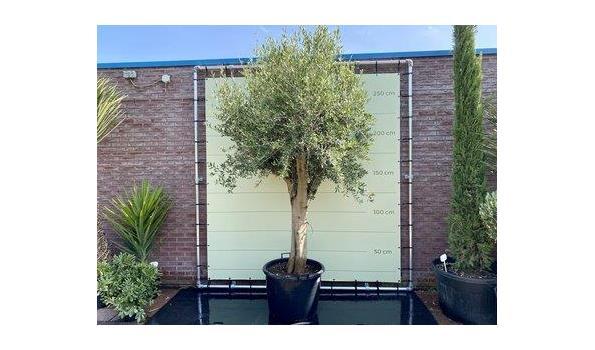 Olijfboom Gladde Stam. Stamomvang 50 - 60  cm