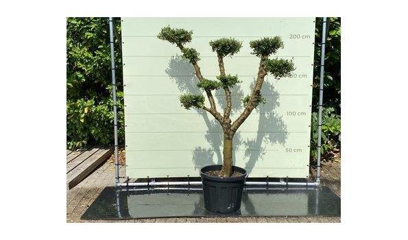 Olijfboom PON-PON. Stamomvang 30 -40 cm