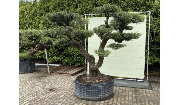 Olijfboom PON-PON. Stamomvang 100 - 110  cm