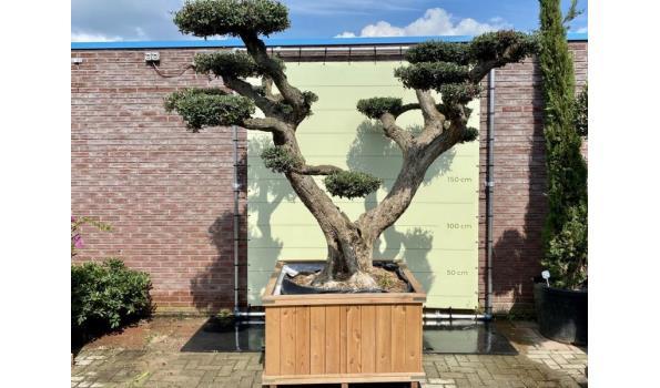 Olijfboom PON-PON. Stamomvang 100 - 110  cm In hardhouten bak
