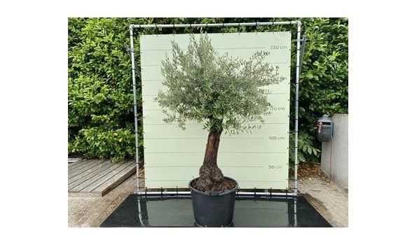 Olijfboom. Stamomvang 50 - 70 cm