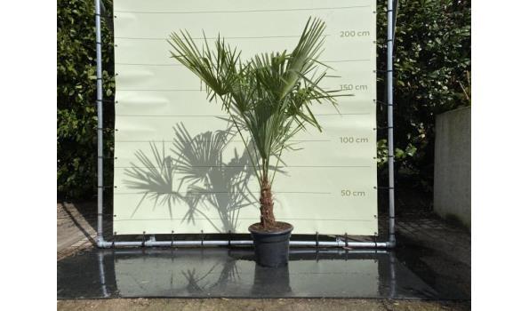 Trachycarpus Fortunei 20 - 30 cm Stamhoogte