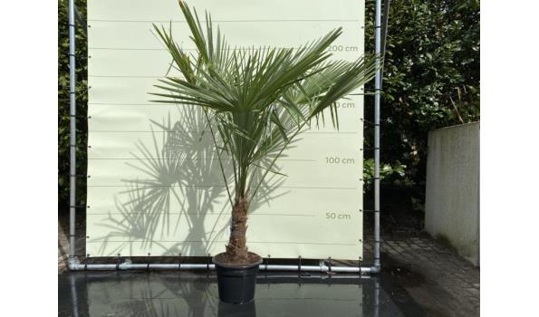 Trachycarpus Fortunei 30 - 40 cm Stamhoogte