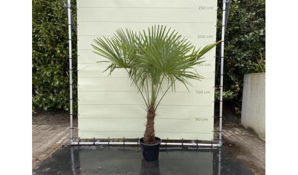 Trachycarpus Fortunei 40 - 50 cm Stamhoogte