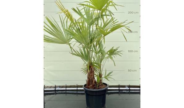 Trachycarpus Fortunei - Multi Stamhoogte 30-60 cm