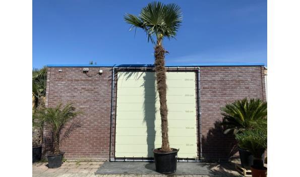 Trachycarpus Fortunei 350 cm Stamhoogte