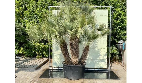 Chamaerops Humulis Hoogte incl. Pot 270 - 300 cm
