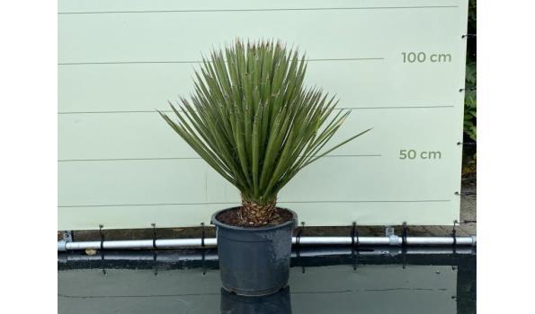 Yucca Filifera hoogte 100 cm
