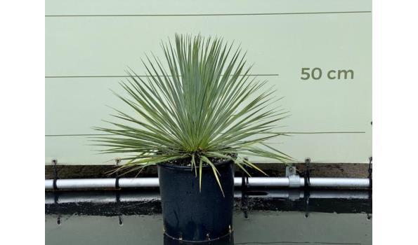 Yucca Rostrata 60-70 cm
