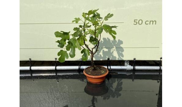 Vijgenboom - Brown Turkey 60 cm, Zoete donkerrode vijg