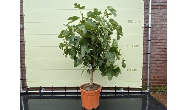 Vijgenboom - Stamomvang 12/14 cm, Zoete donkerrode vijg