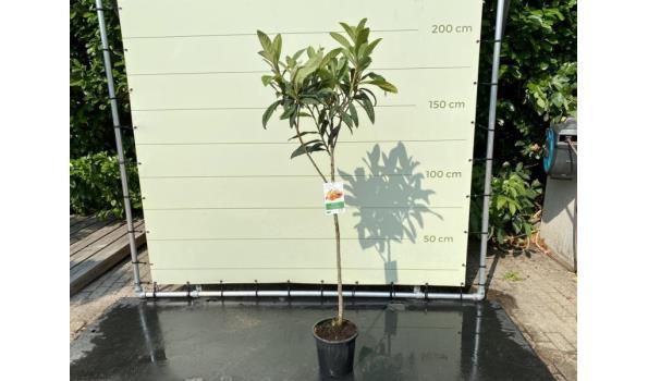 Japanse Wolmispel 160 cm HOOG