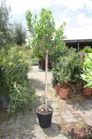 Online veiling Veiling van OLIJFBOMEN, diverse PALMBOMEN, CITRUSBOMEN, VIJGEN en diverse soorten andere planten en bomen
