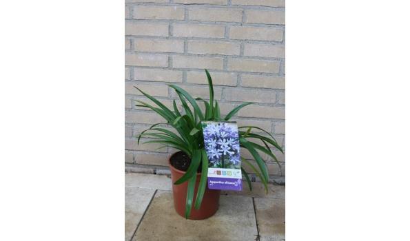 Agaphanthus africanus 50/60cm