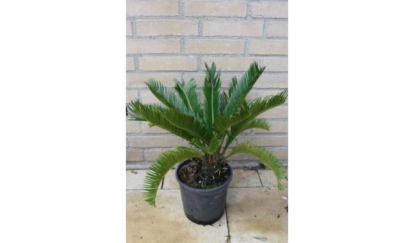 Cycas Revoluta 45/50cm
