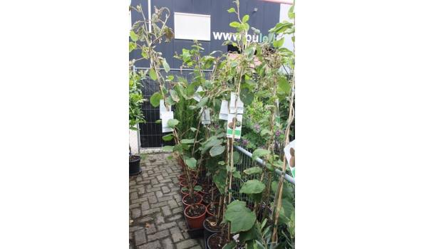 Kiwi, 180cm, vrouwelijke plant