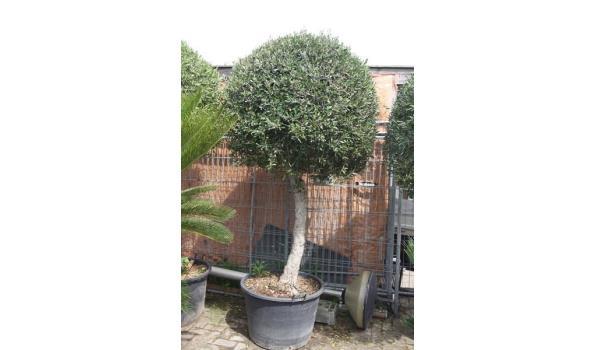 Olijfboom grote bol op stam 250cm
