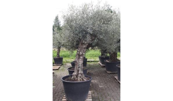 Olijf bonsai oud 250cm