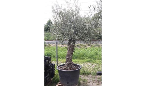 Olijf bonsai oud 260cm