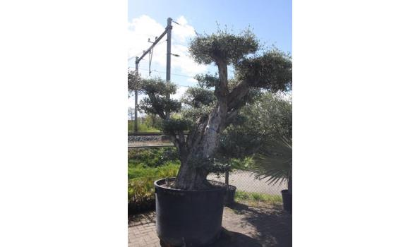 Olea Europea Pon-pon, 300cm